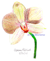 Dendrobium Orchid Pencil Drawing